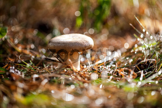 Mushroom Boletus In a Sunny forest in the rain.