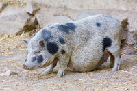 Adult potbellied pig with hanging belly