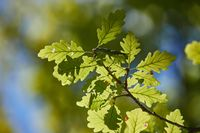 Green Leaves of Spring