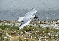 Lachmöwen (Chroicocephalus ridibundus) fliegt über eine Brutkolonie
