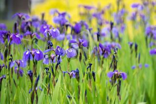 purple irises meadow garden in alaskan town