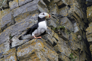 horned puffin that sits on a protruding rock on the slope of the rock