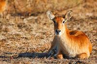Puku, South Luangwa National Park, Zambia, (Kobus vardonii)