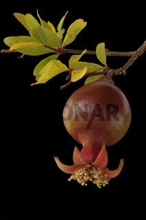 Granatapfel (Punica granatum)