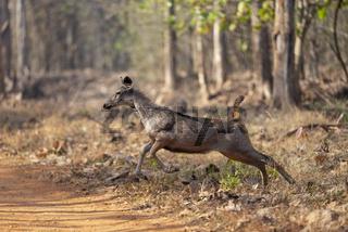 Galloping Sambar Deer seen at  Tadoba, Chandrapur, Maharashtra, India.