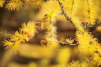 Yellow branch of larch tree