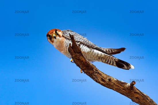 red-necked falcon, Kgalagadi Transfrontier National Park, South Africa, (Falco chicquera)