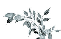 Monochrome image of Ficus benjamina branch close up on a white background isolated
