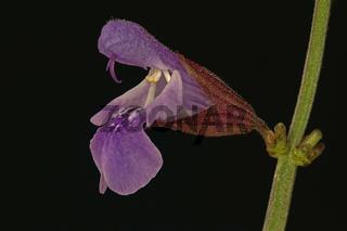 Salbei (Salvia)