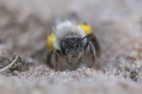 Sandy Bee, Andrena vaga