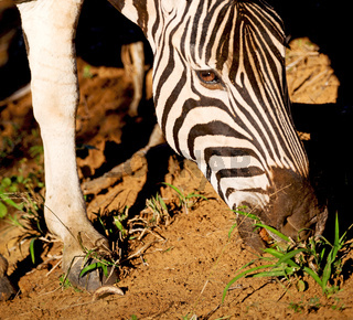 in south africa     wildlife  nature  reserve and  zebra
