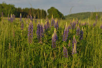 Field with many lupinus