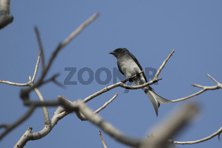 White-bellied drongo who sits on a dry branch in the crown of a tree on a sunny afternoon