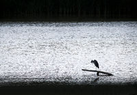 Heron resting on a trunk at the lake