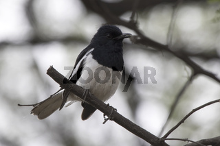 male Oriental magpie robin sitting on a dry branch at the edge of a forest grove in the winter