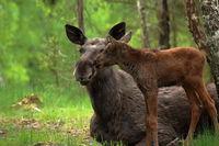 Lucky mother  -  elk family