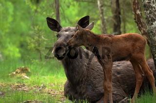 Mutterglück  -  Elchkuh mit Kalb