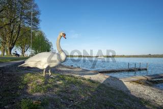 Swan on the beach