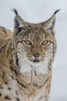 Eurasian Lynx , Lynx lynx, Luchs Portrait
