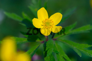 Single flower of yellow wood anemone (Anemone ranunculoides). Close up detail of spring yellow flower blooming in a sunny day of April.