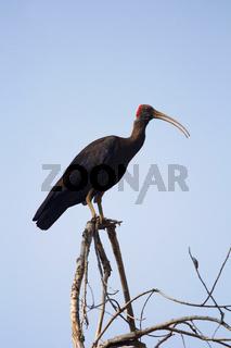 Red-naped ibis, Pseudibis papillosa, Bandhavgarh Tiger Reserve, Madhya Pradesh, India
