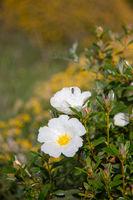 Cistus flowers