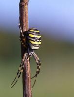 Wasp spider on stalk