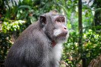 Monkey in the Monkey Forest, Ubud, Bali, Indonesia