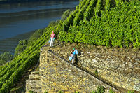 Workers in the terraced vineyard Hell Valley,winery Quinta de la Rosa, Pinhao,Douro Valley, Portugal
