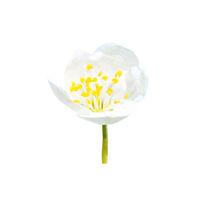 Spring blossoming white spring flower