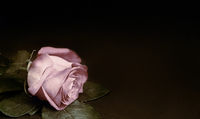 Luxurious pink rose with leaves on a black background .