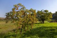 Apfelbaum (Malus domestica)