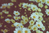 bunch of beautiful white daisy flowers