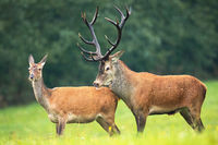 Red deer stag and hind standing close together on a meadow in rutting season