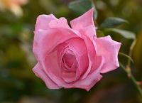 Rose, Blossom