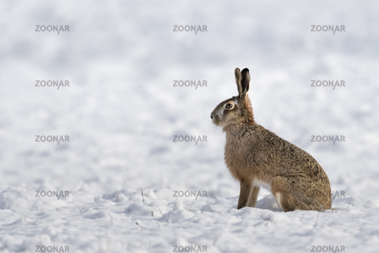 Brown Hare / European Hare * Lepus europaeus * in winter, sitting in snow, watching attenively