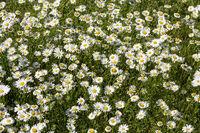 Blühende Margeritenwiese (Leucanthemum)