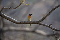 Small minivet, Pericrocotus cinnamomeus, Sinhagad valley, Pune district, Maharashtra, India.
