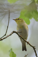 Wood Warbler * Phylloscopus sibilatrix *, male, perched on a branch somewhere in the woods