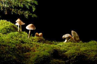 Mushrooms under a juniper branch in a meadow of green moss.
