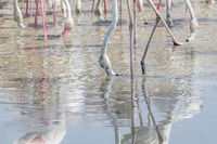 Greater Flamingos in a the wetlands of Dubai, UAE