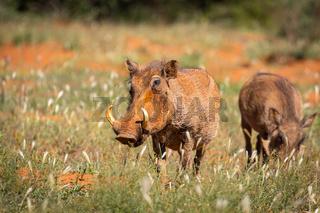 Warzenschweine (Phacochoerus africanus) in Namibia