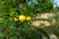 A large yellow plum in drops after rain hangs on a branch.