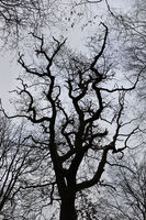Tree crown of a very old oak tree in winter
