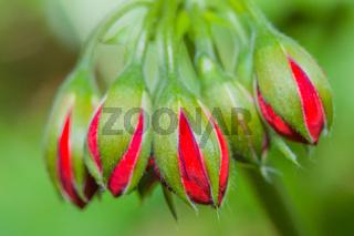 Flower bud cluster