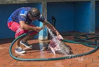 Fresh catch of angler (monkfish) being prepared for sale,Puerto Ayuro, Santa Cruz Island, Galapagos