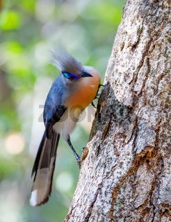 bird Crested coua (Coua cristata) Madagascar