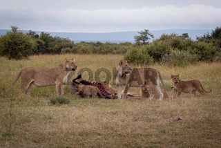 Lionesses watch as cubs chew wildebeest carcase