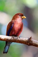 Bird Broad-billed Roller Madagascar wildlife
