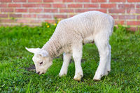 Newborn white lamb eating grass in spring